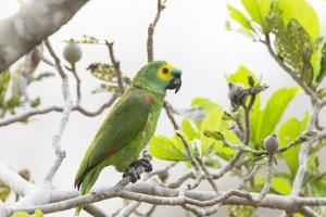 Brazil, Mato Grosso, the Pantanal, Turquoise-Fronted Amazon in Tree by Ellen Goff
