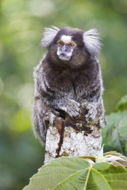 Brazil, Sao Paulo, Common Marmosets in the Trees by Ellen Goff