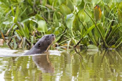 Brazil, The Pantanal, A giant otter swims among the water hyacinth. by Ellen Goff