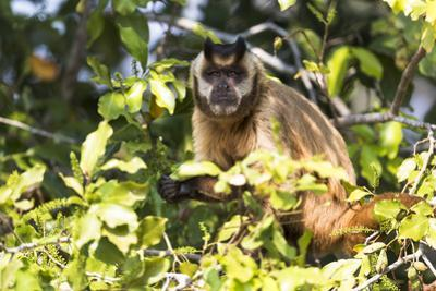 Brazil, The Pantanal. Brown Capuchin monkey eating fruit in a tree. by Ellen Goff