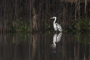 Brazil, The Pantanal. Portrait of a cocoi heron standing in the water among the vines. by Ellen Goff