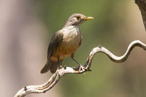 Brazil, The Pantanal. Portrait of a rufous-bellied thrush on a vine. by Ellen Goff