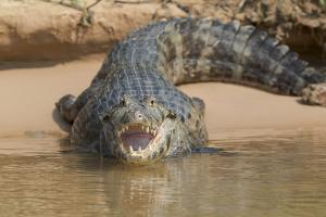 Brazil, The Pantanal. Portrait of an open-mouthed black caiman on the river bank. by Ellen Goff