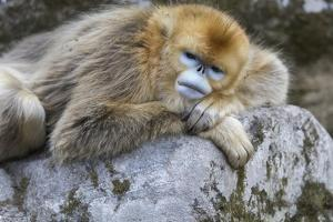 China, Shaanxi Province, Foping National Nature Reserve. Golden snub-nosed monkey. An adult female by Ellen Goff