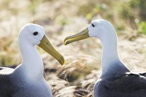 Ecuador, Galapagos Islands, Espanola, Punta Suarez,. Waved Albatrosses Interacting by Ellen Goff