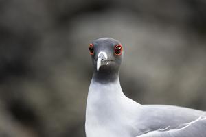 Ecuador, Galapagos Islands, Genovesa, Darwin Bay Beach. Swallow-Tailed Gull Portrait by Ellen Goff