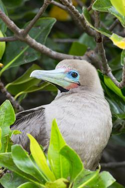 Ecuador, Galapagos Islands, Red-Footed Booby Perching in Mangrove Branches by Ellen Goff