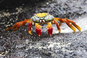 Ecuador, Galapagos Islands, Sombrero Chino. Sally Lightfoot Crab on Wet Rocks by Ellen Goff