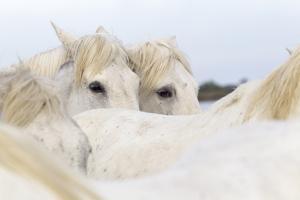 France, The Camargue, Saintes-Maries-de-la-Mer. Camargue Horse herd. by Ellen Goff