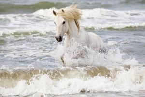 France, The Camargue, Saintes-Maries-de-la-Mer. Camargue horse in the Mediterranean Sea. by Ellen Goff