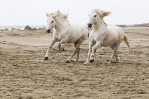 France, The Camargue, Saintes-Maries-de-la-Mer. Camargue horses running along the beach. by Ellen Goff