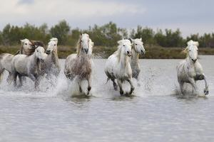 France, The Camargue, Saintes-Maries-de-la-Mer. Camargue horses running through water. by Ellen Goff
