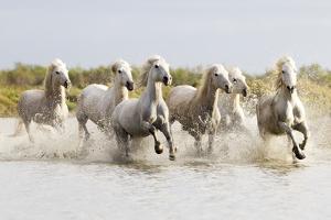 France, The Camargue, Saintes-Maries-de-la-Mer. Camargue horses running through water. by Ellen Goff