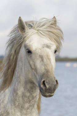 France, The Camargue, Saintes-Maries-de-la-Mer, Portrait of a Camargue horse. by Ellen Goff