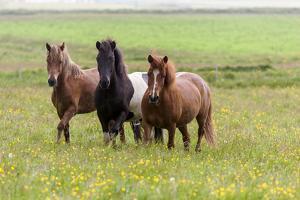 Iceland, Southwest Iceland. Icelandic horses enjoy a wildflower strewn field. by Ellen Goff