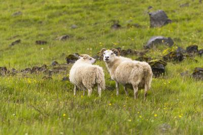 Iceland, Southwest Iceland. Icelandic sheep are commonly seen in the green pastures. by Ellen Goff