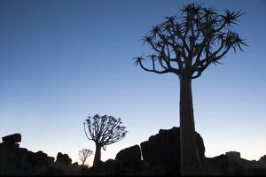 Namibia, Keetmanshoop, Quiver Tree Forest, Kokerboom. at sunset. by Ellen Goff