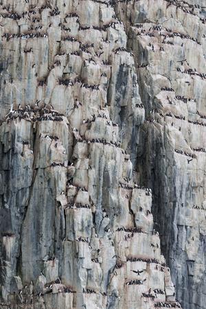 Norway, Svalbard, Alkefjellet Bird Cliffs, Thick-Billed Murre, Brunnich's Guillemot on Cliff Face