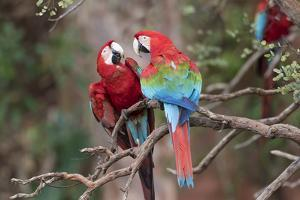 South America, Brazil, Mato Grosso do Sul, Jardim, A pair of red-and-green macaws together. by Ellen Goff