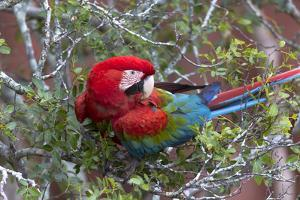 South America, Brazil, Mato Grosso do Sul, Jardim, Red-and-green macaw. by Ellen Goff