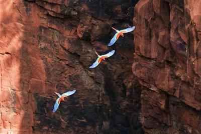 South America, Brazil, Mato Grosso do Sul, Jardim, Red-and-green macaws flying in the sinkhole. by Ellen Goff