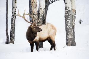 USA, Wyoming, Yellowstone National Park. A bull elk walking through Aspen trees foraging for grass. by Ellen Goff