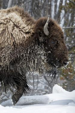 USA, Wyoming, Yellowstone National Park. American bison (Bos bison) struggles through the snow. by Ellen Goff