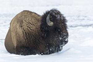 Usa, Wyoming, Yellowstone National Park. Bison bull covered in snow after foraging for grass. by Ellen Goff