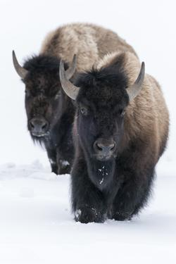 Usa, Wyoming, Yellowstone National Park. Bison walking in deep snow by Ellen Goff