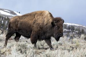 Usa, Wyoming, Yellowstone National Park. Bison walking through the sage and rocky terrain. by Ellen Goff