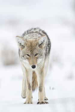 USA, Wyoming, Yellowstone National Park. Portrait of a coyote in the sage and snow. by Ellen Goff