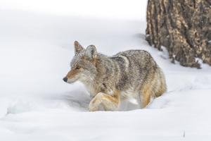 Wyoming, Yellowstone National Park. A coyote (Canis latrans) working its way through the deep snow. by Ellen Goff