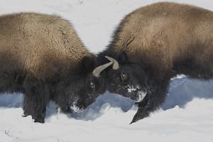 Wyoming, Yellowstone National Park. Two young bison headbutting each other testing their strength. by Ellen Goff