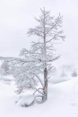 Wyoming, Yellowstone National Park, Upper Geyser Basin. A large trees standing in the deep snow. by Ellen Goff