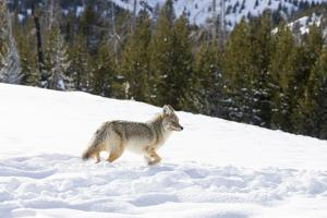 Wyoming, Yellowstone NP. A coyote (Canis latrans) moving through bison footprints in the snow. by Ellen Goff