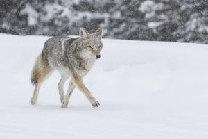 Wyoming, Yellowstone NP. A coyote (Canis latrans) trots along the plowed road in a snowstorm. by Ellen Goff