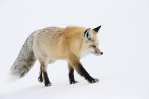 Wyoming, Yellowstone NP. A red fox walking on top of the crusted snow by Ellen Goff