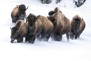 Wyoming, Yellowstone NP. American bison (Bos bison) beginning to run through the deep snow. by Ellen Goff
