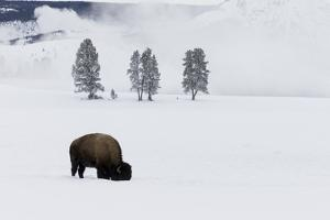 Wyoming, Yellowstone NP. American bison bull foraging beneath the snow for grass by Ellen Goff