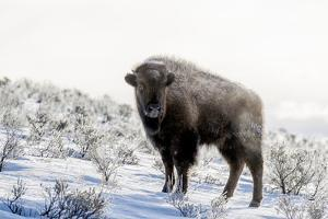 Wyoming, Yellowstone NP. American bison standing in the sage with steam by Ellen Goff