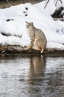 Wyoming, Yellowstone NP. Bobcat hovers alongside the Madison River waiting for a duck to pass by. by Ellen Goff