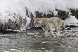 Wyoming, Yellowstone NP. Coyote standing in the Madison River waiting for a fish to swim by. by Ellen Goff
