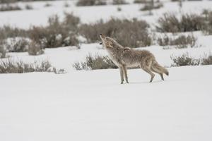 Wyoming, Yellowstone NP, Lamar Valley. A coyote (Canis latrans) howling to ward off a nearby wolf. by Ellen Goff