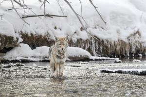 Wyoming, Yellowstone NP, Madison River. A coyote standing in the Madison River by Ellen Goff