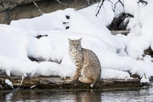 Wyoming, Yellowstone NP, Madison River, bobcat. A bobcat hovering alongside the Madison River by Ellen Goff
