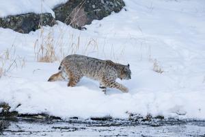 Wyoming, Yellowstone NP, Madison River, bobcat. A bobcat walking alongside the Madison River by Ellen Goff