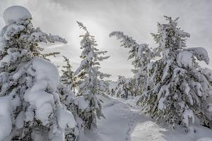 Wyoming, Yellowstone NP, Midway Geyser Basin. Winter scene with snow covered trees by Ellen Goff