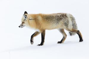 Wyoming, Yellowstone NP. Red fox walking on top of the crusted snow by Ellen Goff