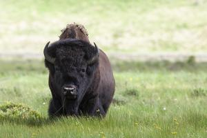 Yellowstone National Park a big bull bison standing among lush green grass. by Ellen Goff