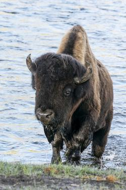 Yellowstone National Park. A bison bull emerging from the Firehole River. by Ellen Goff